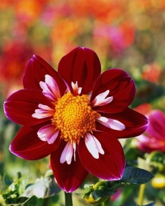 Dahlia at Swan Island Dahlias ca. 1998 Near Canby, Oregon, USA